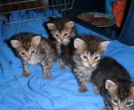 Name: 4 Katzenkittten Rasse: Europäisch Kurzhaar Alter: geb. 25.08.2011 Ort: Spanien/Teneriffa […]