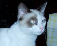 Name: Cuco Rasse: Snowshoe/Schneeschuh-Mix Alter: geb. ca. april 2012 Ort: Spanien […]
