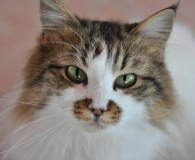 Name: Fatima Rasse: Norweger Waldkatze Mix Alter: geb. ca. 2011 Ort: […]