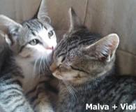 Name: Malva und Violeta Rasse: Europäisch Kurzhaar Alter: geb. ca. April […]