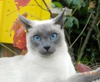 Name: Gandalf Rasse: Siam Thai Alter: geb. Dezember 2011 Ort: Bonn […]