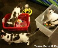 Name: Tessa, Pepsi und Pepper Rasse: Europäisch Kurzhaar Alter: geb. ca. […]