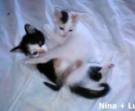 Name: Nina und Lua Rasse: Europäisch Kurzhaar Alter: geb. April 2015 […]
