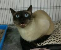   Diese Katze anfragen …mehr Bilder in Spanien