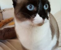 Name: Happy Rasse: Snowshoe-Mix Alter: geb. ca. März 2013 Ort: Spanien […]