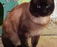 Name: Azzurro Rasse: Thai/Siam Mix Alter: geb. ca. August 2014 Ort: […]