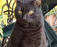Name: Smokey Rasse: BKH Mix Alter: geb. ca. März 2015 Ort: […]