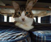 Name: Oscar Rasse: Ägyptisch Mau/Norweger-Waldkatzen-Mix Alter: geb. ca. Januar/Februar 2016 Ort: […]